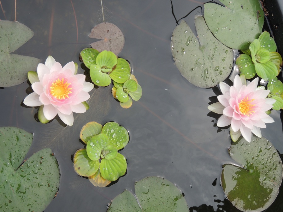 Two waterlily blossoms and pads - from the blog owner's own pond